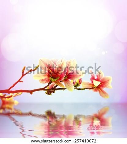 Spring flower magnolia background - stock photo