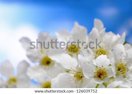 spring flower on sky background - stock photo