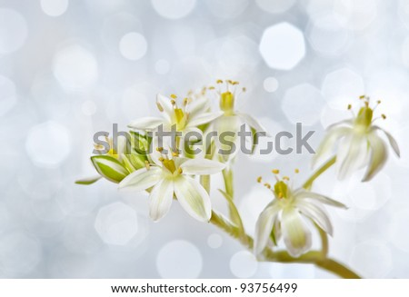 spring flower ornithogalum and light bokeh background - stock photo