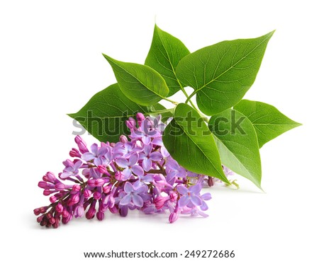 Spring flower twig purple lilac. Syringa vulgaris. - stock photo
