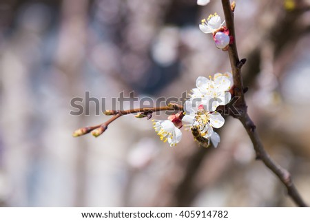 Spring Flowering branch. Cherry Blossom. Apricot tree flower with buds blooming at sptingtime. White flowers on tree branch. selective focus, photo light spring  - stock photo