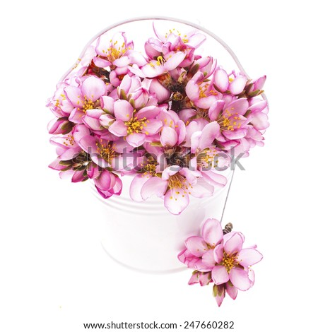 Spring flowering branches, pink flowers, no leaves, blossoms Almond in white enamel bucket isolated on white background - stock photo