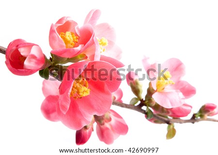 Spring flowering quince - stock photo