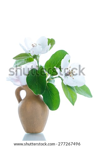 Spring flowering quince tree on a white background - stock photo
