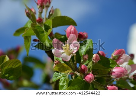 Spring flowering trees. Pink and white flowers. In the background of blue sky with clouds blurred. Sunny spring day. Summer time. Green leaves lush vegetation. - stock photo