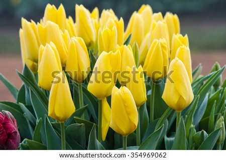 Spring flowering tulip bulbs in bright blooming color