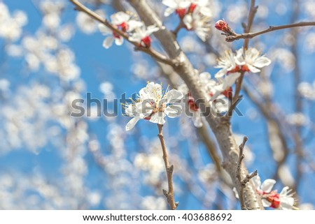 Spring flowers apricot tree close up on blurred background blossoming orchard and blue sky. Selective focus - stock photo