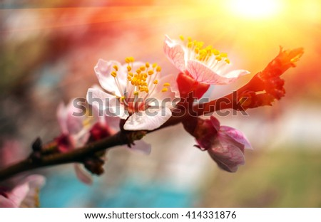 spring flowers at sunset. Blossoming trees in the spring blurred background. apricot. - stock photo