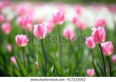 Spring flowers background. Beautiful field of pink tulips at middle of spring. Spring flowers. Spring scene. Spring view Spring grass. Spring. Sunny spring. Spring scenery. Spring. Spring image Spring - stock photo