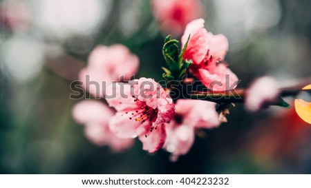 Spring Flowers Background Blossom Tree With Dew Drops After Rain Over Nature Blur Sakura