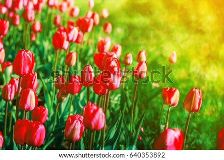 Spring flowers background red flowers tulips stock photo royalty spring flowers background red flowers tulips lit by sunlight soft selective focus bright mightylinksfo