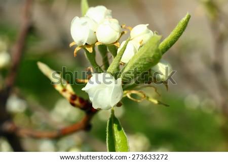 Spring flowers. Blooming apple bud - stock photo
