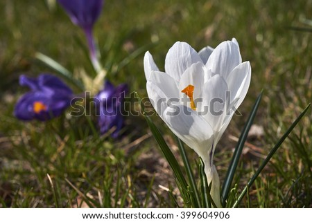 Spring flowers. Blooming  crocuses in mountains. Glade primroses. Solar landscape. - stock photo
