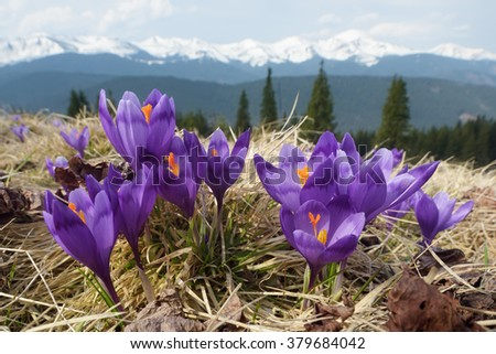 Spring flowers. Blooming violet crocuses in mountains. Glade primroses. Solar landscape. Carpathians, Ukraine, Europe - stock photo