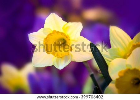 Spring flowers daffodil. Close up
