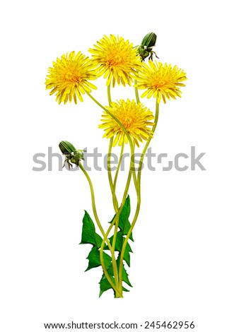 spring flowers dandelions - stock photo