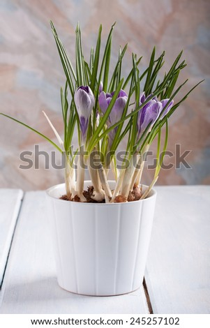 Spring flowers. Flower pot with violet crocuses on a table.  - stock photo