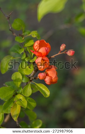 Spring flowers. Flowering in April and May - Flowering bud and flower - stock photo