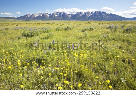 Spring flowers in Centennial Valley near Lakeview, MT - stock photo
