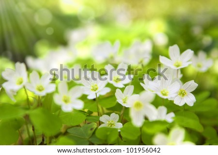 Spring flowers in forest.Snowdrops in sunny day - stock photo