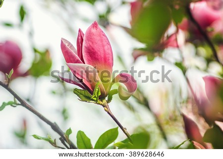 Spring flowers in the Botanical Garden. spring magnolia flowers, natural abstract soft floral background. magnolia tree blossom - stock photo