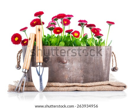 Spring flowers in wooden basket with garden tools. Isolated on white background - stock photo