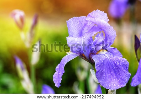 Spring flowers. Macro shot of blue iris - stock photo
