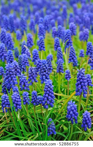 Spring flowers meadow in blue color - stock photo