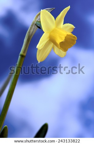 Spring flowers narcissus - stock photo
