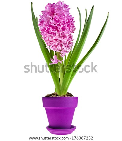 Spring flowers of hyacinth  in clay lilac flowerpot isolated on white background - stock photo