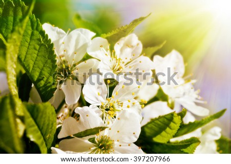 spring flowers of the cherry tree, spring backgrounds - stock photo