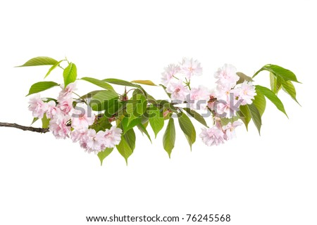 Spring flowers on branch isolated on white