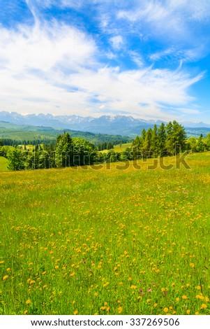 Spring flowers on green meadow with mountains view, Lapszanka, Tatry Mountains - stock photo
