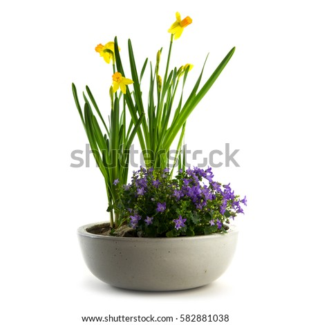 Spring flowers potted easter decoration daffodils stock photo spring flowers potted as easter decoration daffodils and bluebells isolated on a white background mightylinksfo