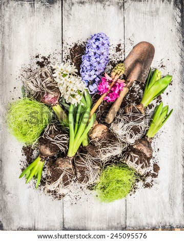 Spring flowers potting with hyacinth , bulbs, Tubers, shovel and soil, composing on white wooden background, top view - stock photo
