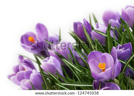 spring flowers, purple crocus on a white background