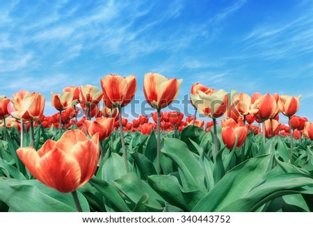 spring flowers red/yellow tulips bouquet over blue sky - stock photo