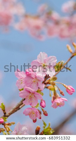 Spring Flowers Series Beautiful Pink Cherry Blossoms Vertical Image Good For Mobile Phone Wallpaper