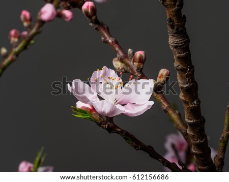 Spring flowers series, macro of beautiful peach flowers isolated on gray background, focused on the red stamen.