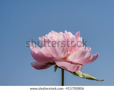 Spring flowers series, pink Chinese herbaceous peonywith blue sky background. - stock photo