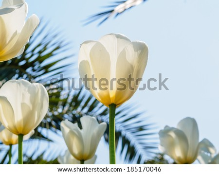 Spring flowers series, white tulips against strong sun shine, very charming transparent petals