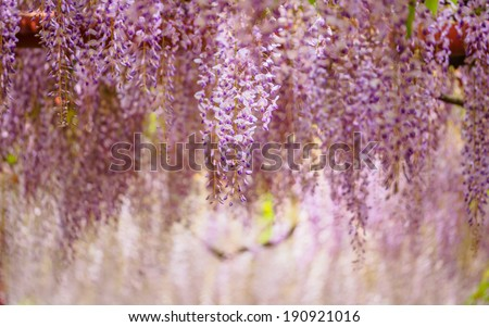 Spring flowers series,  Wisteria trellis, it is a genus of flowering plants in the pea family, Fabaceae - stock photo