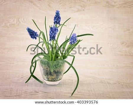Spring flowers. Spring flowers - blue muscari  in vase. Spring flowers isolated on white background. Card with spring flowers. Spring flowers on white mit copy space. Spring flowers blue muscari. - stock photo