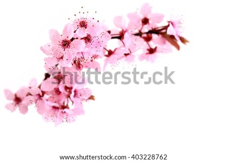 Spring flowers. Spring flowers - cherry blossom on white. Spring flowers isolated on white background. Card with spring flowers. Spring flowers card with copy space. Spring flowers border. - stock photo