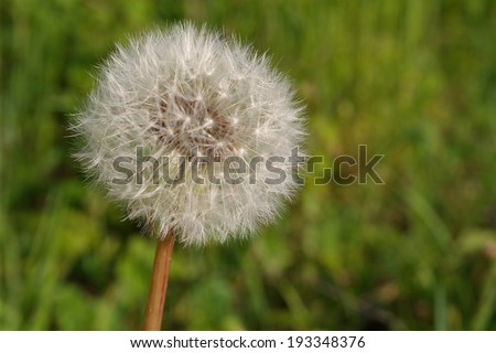 Spring flowers, Taraxacum officinale, dandelion, blowball