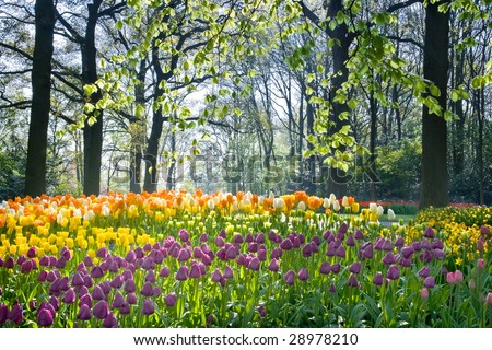 Spring flowers tulips and daffodils in april light - stock photo