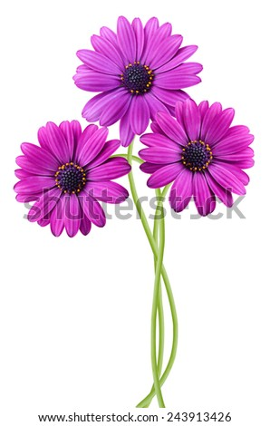 Spring flowers: violet Pink Osteosperumum Flower Daisies - stock photo