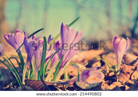 Spring flowers wild crocus blooming in the forest,first signs of spring, in retro style - stock photo