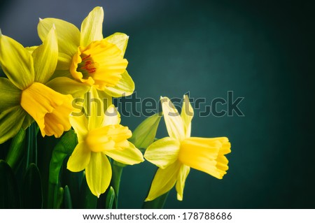 Spring flowers. Yellow daffodils on dark green background - stock photo