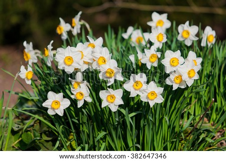 spring flowers.  Yellow Narcissus flowers in the garden - stock photo
